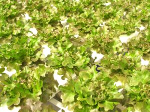 Hydroponic lettuce grown without soil in raised beds